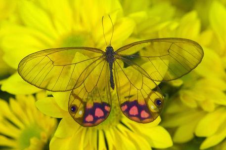 Üvegszárnyú pillangó - Citherias merolina