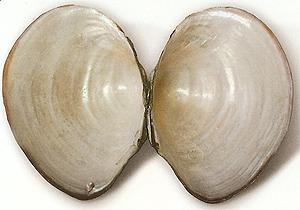 Kagylóhéj