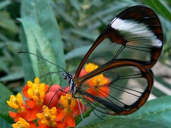 Üvegszárnyú pillangó - Greta oto