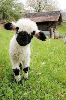 Fekete-fehér bárány